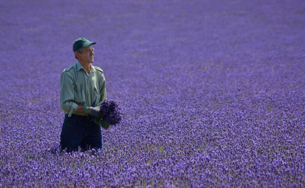 Mayfiled Lavender